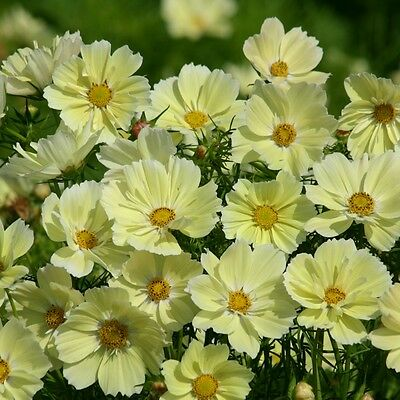 Cosmos - Xanthos - 30 Seeds