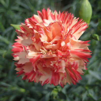 Carnation - Orange Sherbet - 120 Seeds