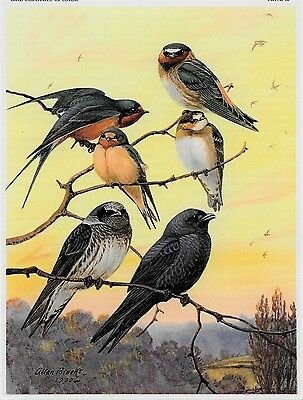 SWALLOWS Barn Cliff Martin Vintage 1960 Matted BIRD Picture