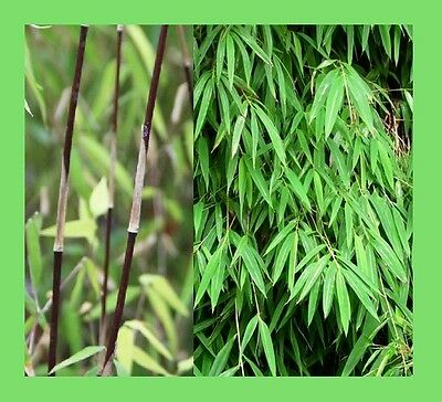 Fargesia gaolinensis - RECENTLY DISCOVERED bamboo species - 10 Viable seeds RARE