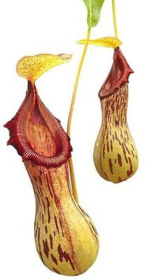 Nepenthes burkei Live Carnivorous Pitcher Plant