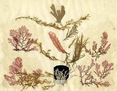 Seaweed Plant Specimens - Original mid-19th-century pressed leaves