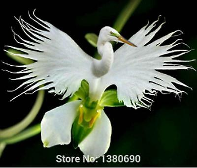 200 Japanese Radiata Seeds White Egret Orchid Seeds World's Rare Orchid Species