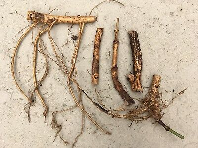 Ideal Supply for Big Batch Brewers, 20 Cascade Hop Rhizomes, $110.00