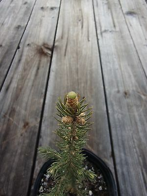 Blue Spruce  3 yr old - Christmas tree, Ornamental tree