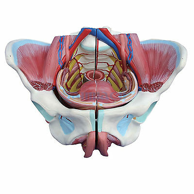 Female Pelvis With Genital Organs Muscle Rehabilitation Anatomical Model 4 Part