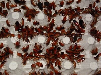 Turkistan Roaches - Red Runners - MIX  LARGE - ADULT  Free Roaches + Vouchers