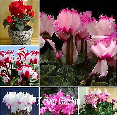 100 pcs cyclamen seeds, Cyclamen seedlings seeds,Primrose flowers seeds