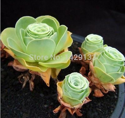 100 pcs The Mountain Green Rose Garden Greenovia Flower Seed bonsai succulent
