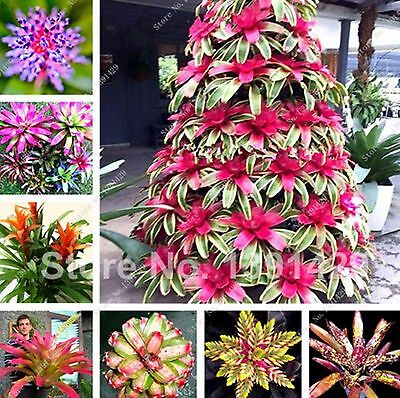 100 pcs Dwarf Pineapple Seeds Rare Bonsai Tree Bromeliad Plants