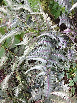 50 Silver Japanese Painted Fern Spores/seeds