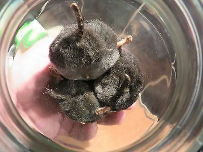 Mole asses, a jar of molasses Taxidermy mole rear ends in a jar