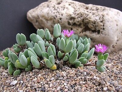Antimima Turneriana (10 SEEDS) Very Rare Succulent Samen Semi Korn 種子 씨앗 Семена