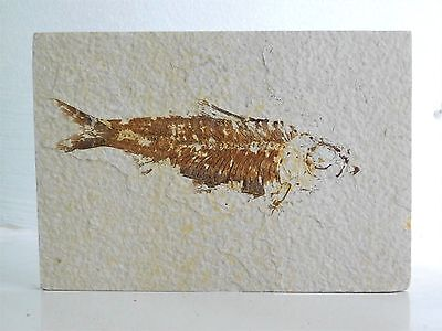 24F) Fossil Fish Display Plate Great Gift Art Home Decor - Wyoming USA