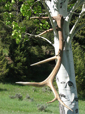Six Point Elk Antler - Natural Shed - Fresh This Year - Horn, Antlers, Montana