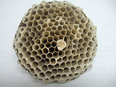 WASP NEST Paper Wasp Hornet Hive Layer Science TaxidermyArt Craft Project