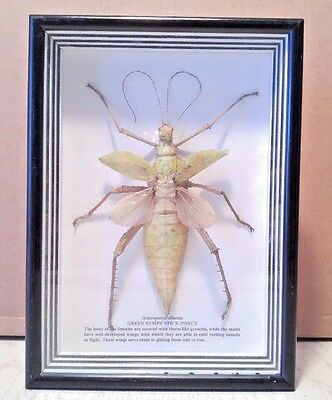Green Nymph Stick Insect Taxidermy Entomology Framed Shadowbox 7""