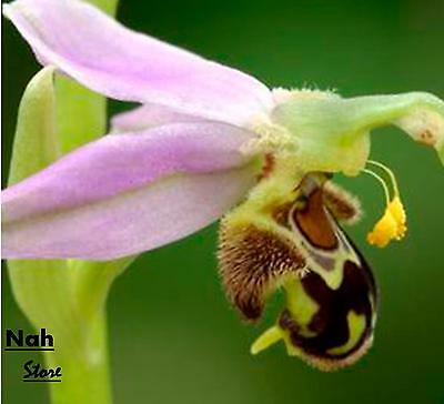 Bee Orchid Seeds Perennial Flowering Plants Potted Seeds- 50 Pcs