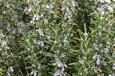 """Hardy Perennial Culinary Herb.  Rosemary """"miss Jessopp""""  1 Litre Pot Size Plant."""