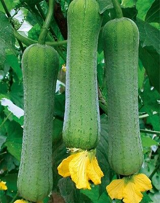 White jade luffa seeds Loofah SPONGE GOURD organic heirloom Vegetable NO-GMO