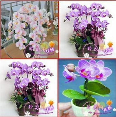 40 Seeds of Hydroponic orchid seeds indoor flowers bonsai four seasons Phalaenop