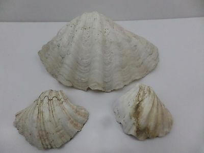 3 X Old Large Vintage Natural CLAM Sea Shell S3