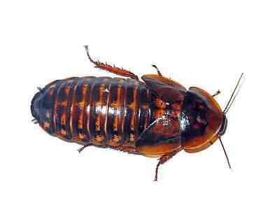 200 Medium Gut Loaded Dubia Roaches - Perfect Reptile Feeder
