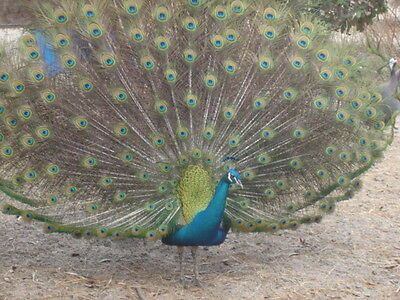 9+ INDIA BLUE PEACOCK PEAFOWL HATCHING EGGS - one day sale!!!!