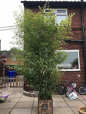 LARGE GOLDEN BAMBOO Approx 11 Foot