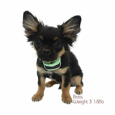 "Our K9 ""Mint"" Extra Small - Small Dogs - Pain Free Fully Automatic Bark Colla..."