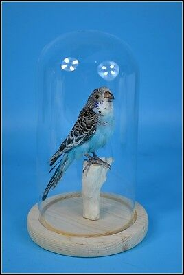 taxidermy of blue parrot mounted inglass dome free P&P special gift E#