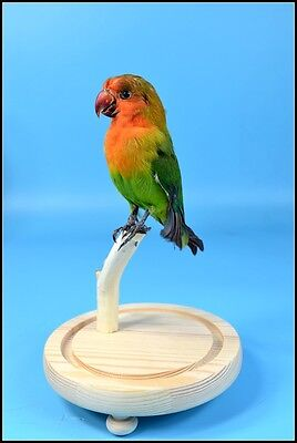 taxidermy bird parakeet mounted in glass dome free shipping special gift H#