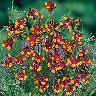 Linaria 'Spanish Dancer' / Netted Toadflax / Hardy Annual / 8000 Seeds