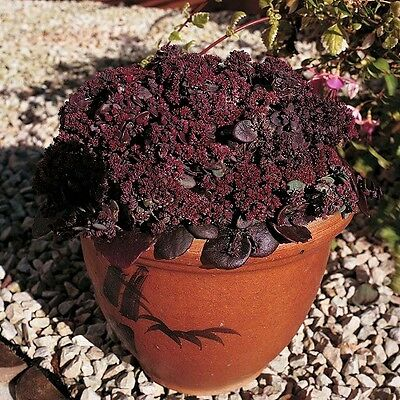 Sedum 'Turkish Delight' / Hardy perennial / 50 Seeds
