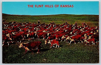 The Flint Hills of Kansas Longhorn Cattle Drive Grazing Chrome Postcard Unused