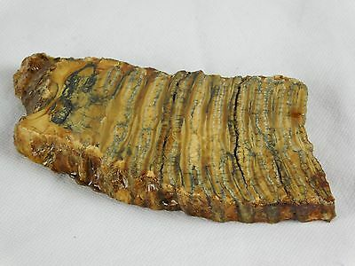 3) Woolly Mammoth TOOTH Slice Polished Fossil UK - Great Unique Gift