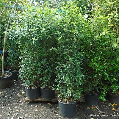 10 x Portuguese Laurel 5.5-6ft tall, evergreen trees, screening. Potted hedging