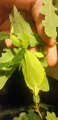Leaf insect nymphs x2