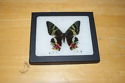 Real Framed Mounted Butterfly in a 5x6 Riker Mount, urania ripheus