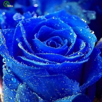 40+ Rare Japanese Smurfs Rose Flower Seeds, Bonsai Flower Seeds, Beautiful Plant