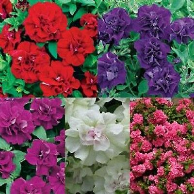 12 Trailing Petunia Surfinia Double Mixed Collection Basket Plug Plants FREE P+P