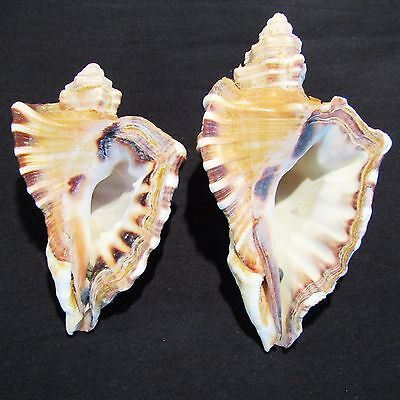 "Two Vintage CYMATIUM RANZANII Sea Shells from the Middle East (5"" & 6"")"