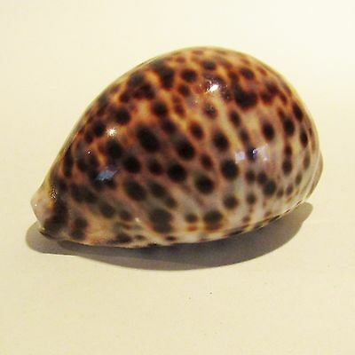 Large 95mm Red Sea CYPRAEA PANTHERINA (Panther Cowry) Sea Shell