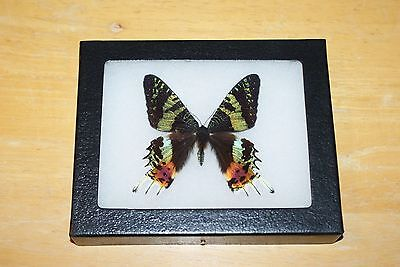 Real Framed Mounted Butterfly in a 4x5 Riker Mount, urania ripheus