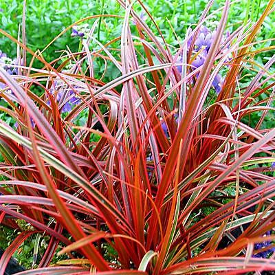 "New! Stunning New Colour!  Uncinia ""ruba Everflame""  1 Litre Pot Size Plant."
