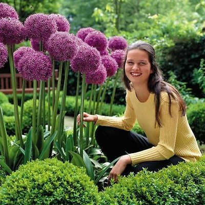 PRE-ORDER - Allium Globemaster- GIANT Hardy Perennial Purple Bulbs - Sept17 Del