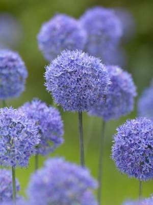 PRE-ORDER- Allium Caeruleum Blue Spring Flower Plant Bulbs -Sep17 Delivery