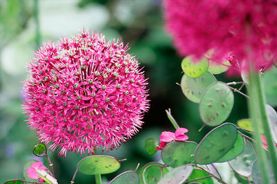 PRE-ORDER- Pink Allium Stipitatum Tall Spring Flower Plant Bulbs -Sep17 Delivery