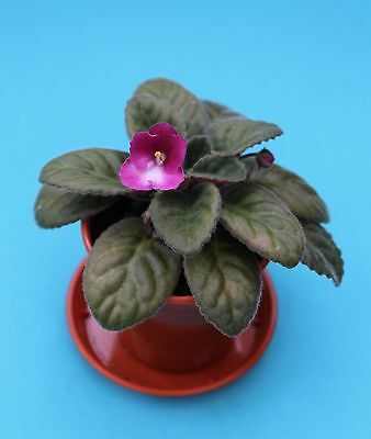 African Violet 8E Helen Magnus plant with flowers Rare