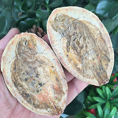 158g Both sides of the fish well-preserved Million Year Old fish fossils Y61302